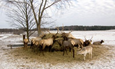 Elk in Michigan